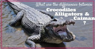 What are the differences between Crocodiles, Alligators, and Caimans?
