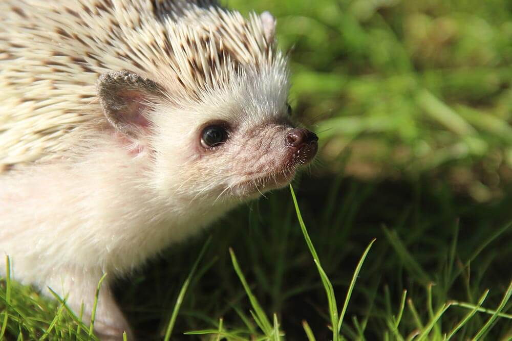 African Pygmy Hedgehog. How to care for pet hedgehogs - Love The Critters