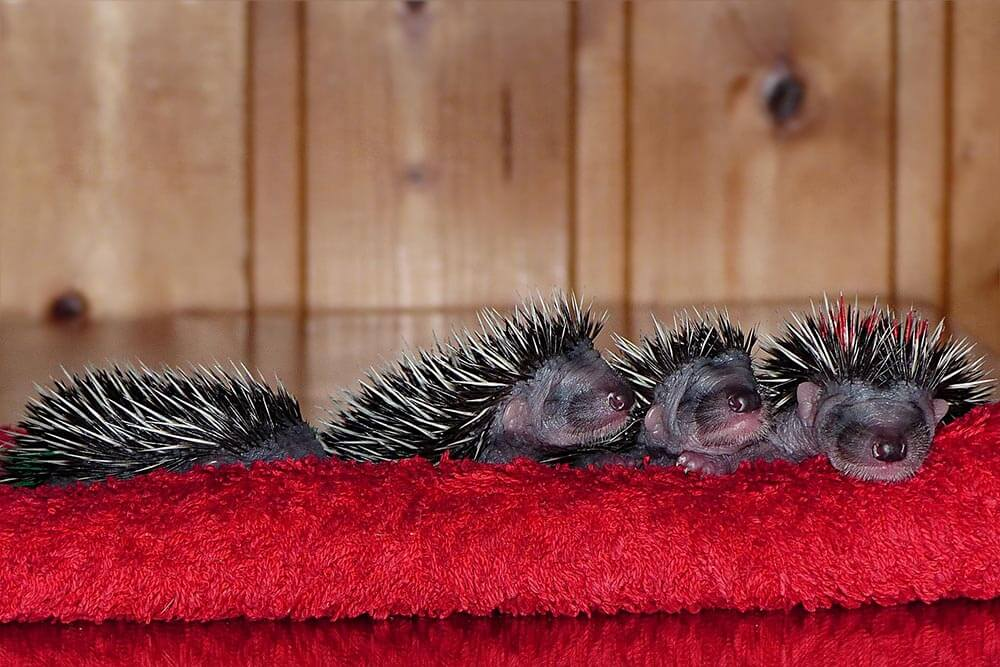 Baby hedgehogs, hoglets - Love The Critters