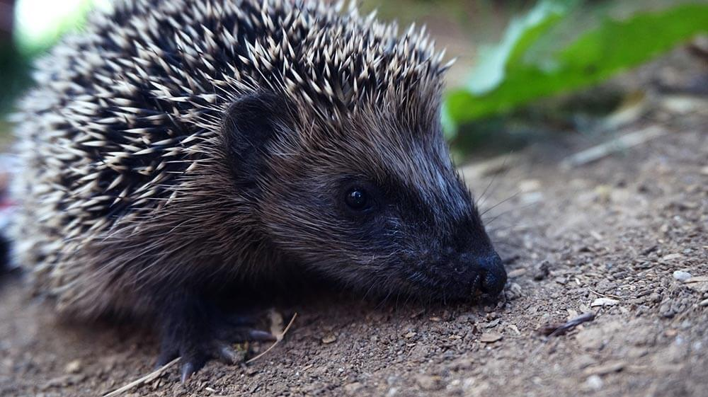 How to care for pet hedgehogs - Love The Critters