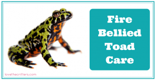 How to care for Fire Bellied Toads - Love The Critters