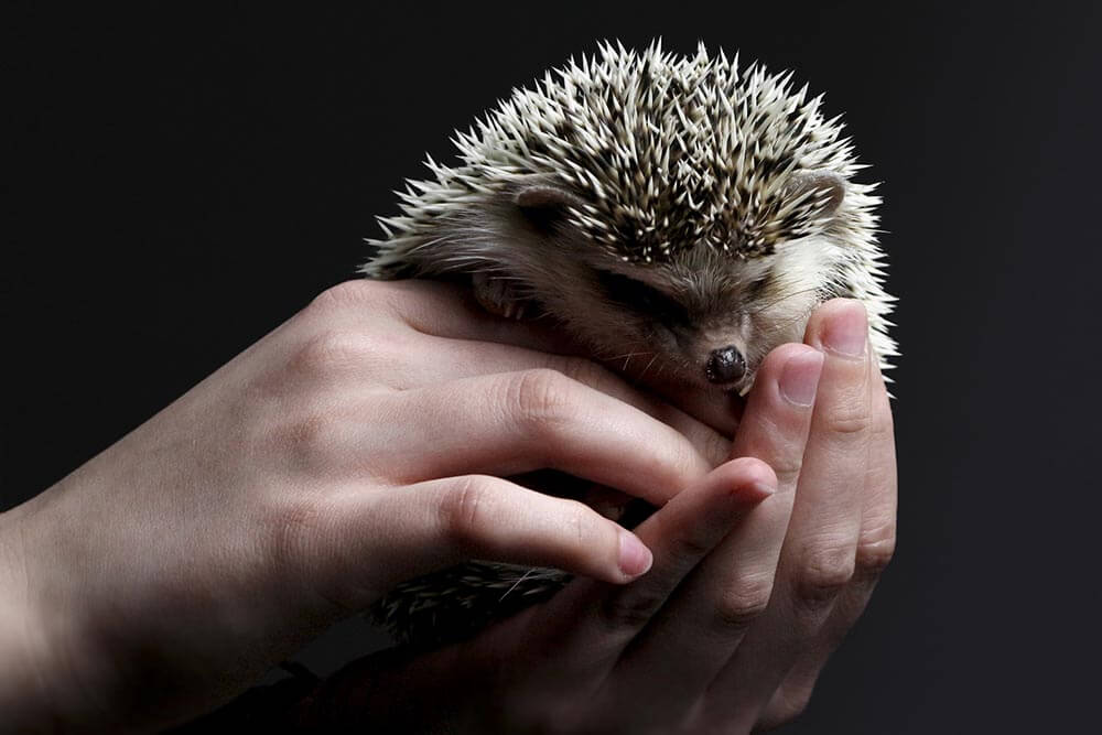 Hedgehog being held - Love The Critters
