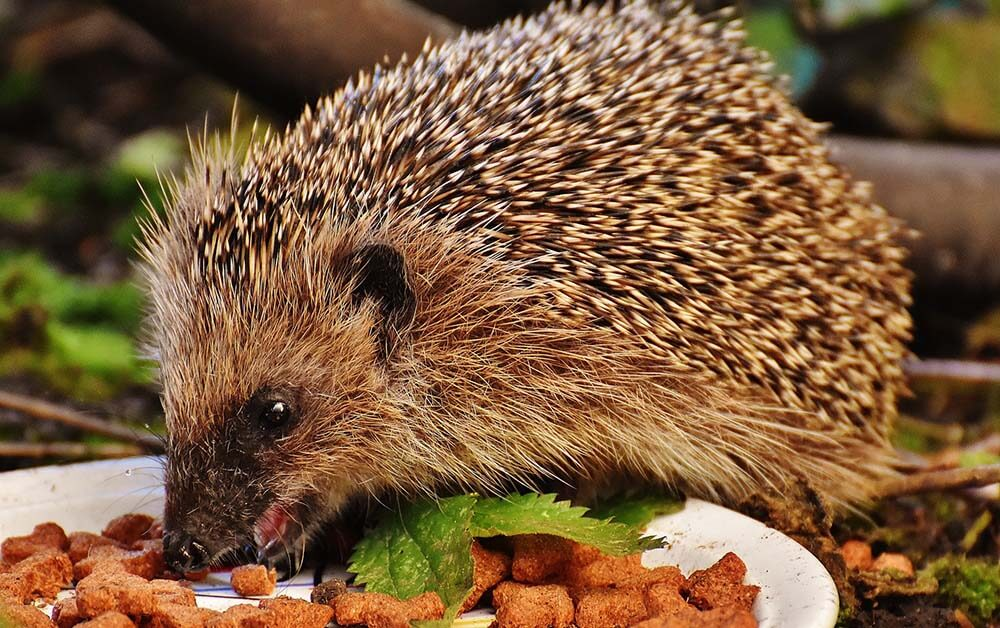 Hedgehog eating food - Love The Critters