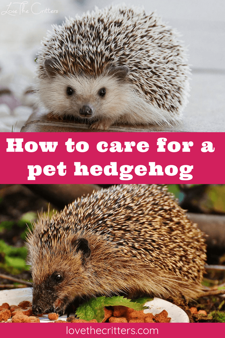 How to care for a pet hedgehog, cage, bedding, food, toys, hides, and interesting facts