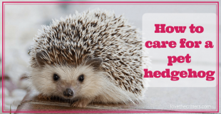 How to care for a pet hedgehog
