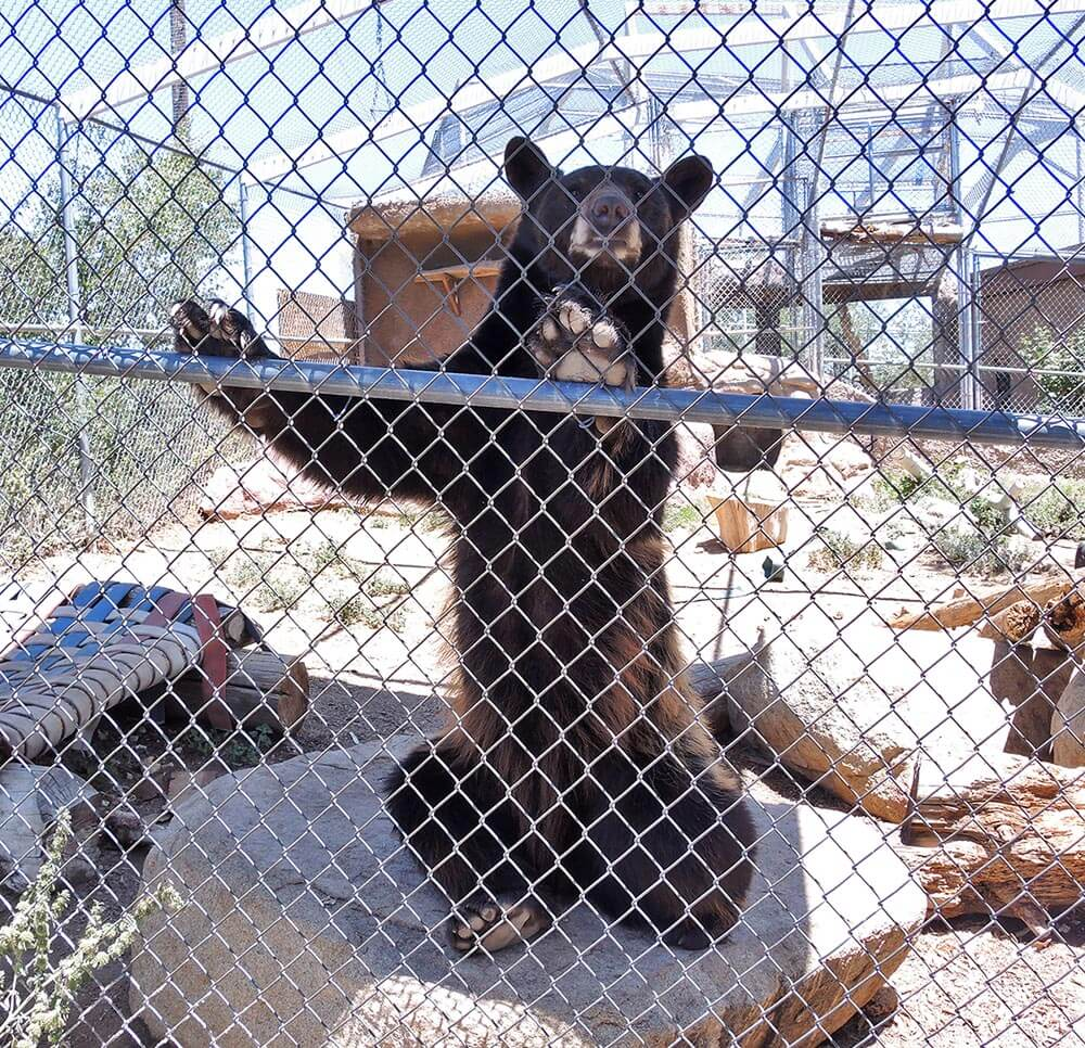 American Black Bear - Love The Critters