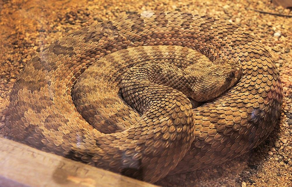 Hopi Rattlesnake - Love The Critters