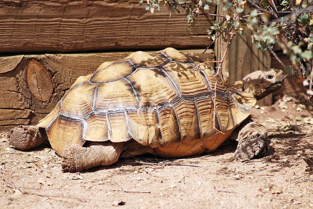 Sulcata Tortoise - Love The Critters