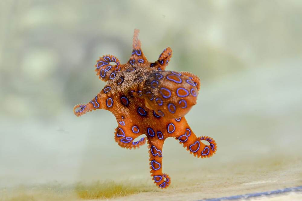 Blue Ringed Octopus - Love The Critters