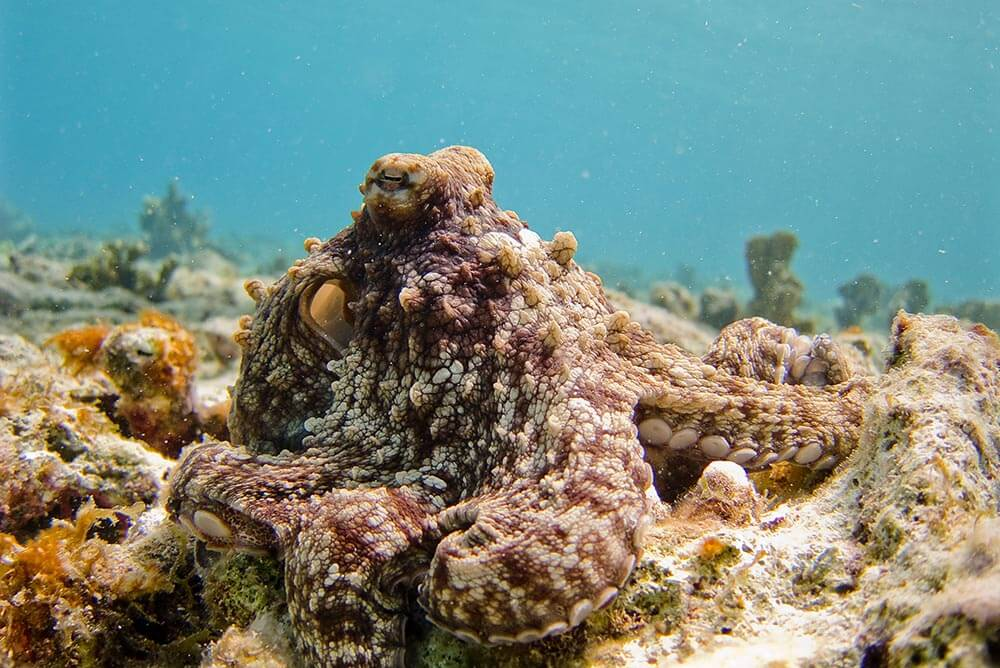 Brown octopus - Love The Critters