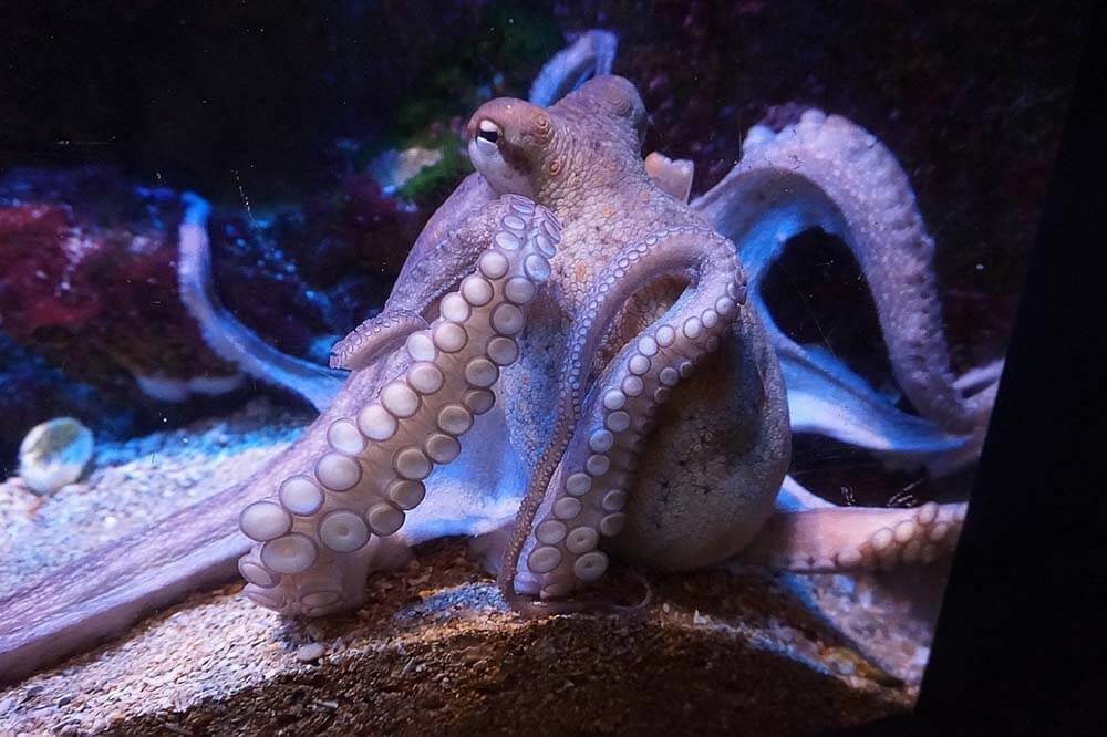 Octopus in an aquarium - Love The Critters