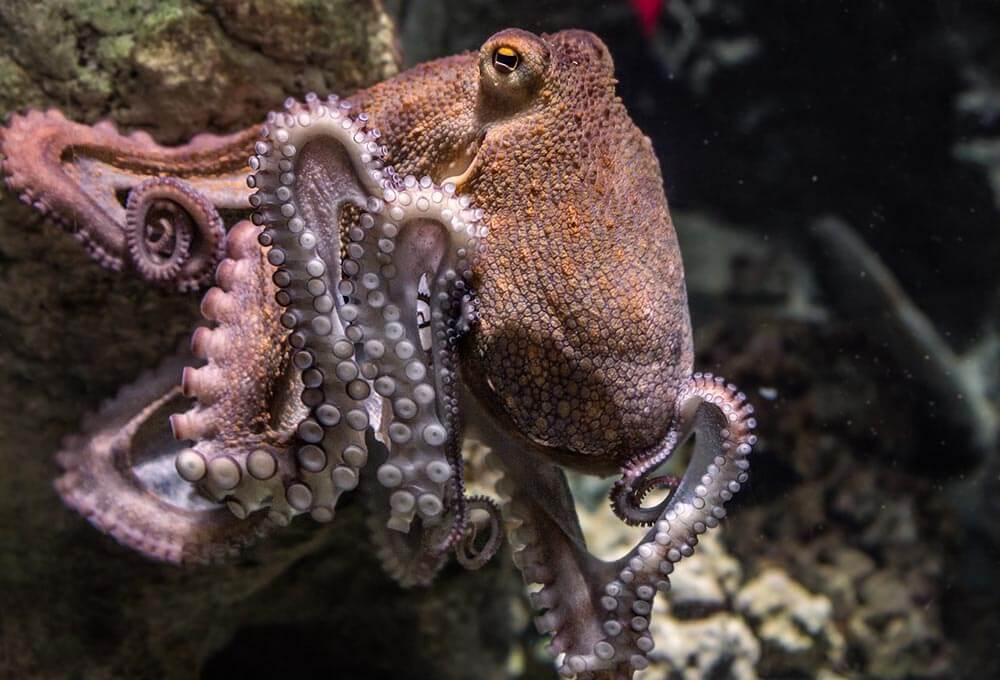 Octopus - Love The Critters