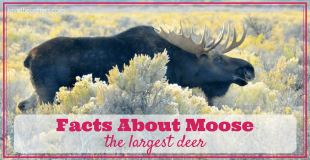 Facts about moose, the largest deer - Love The Critters
