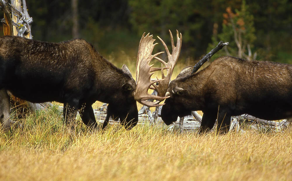 Bull moose fighting - Love The Critters