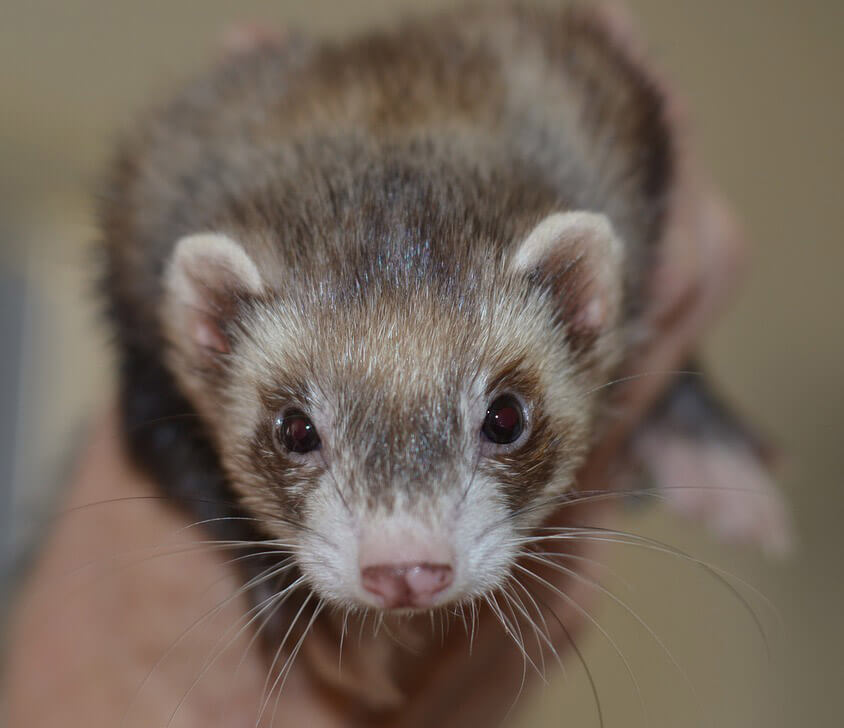 Cute ferret - Love The Critters