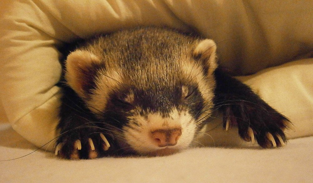 Cute ferret sleeping - Love The Critters