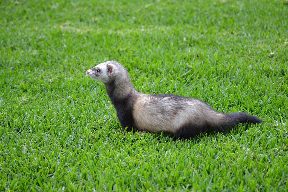 Ferret outside on the grass - Love The Critters