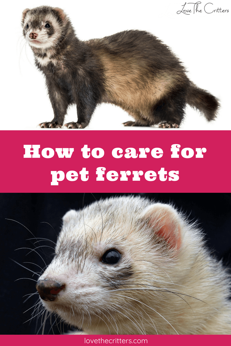 How to care for pet ferrets with interesting facts, includes cage size, food, bedding, toys, grooming, vaccination info, etc.!