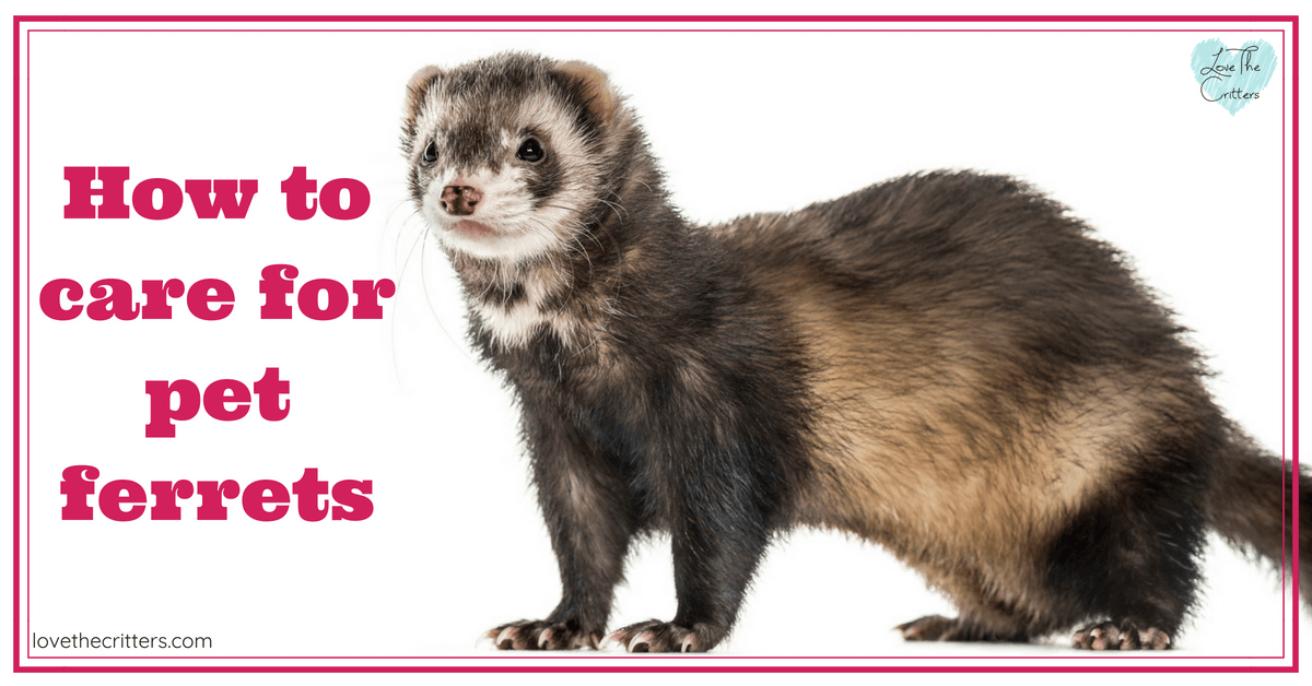 How to care for pet ferrets and ferret facts - Love The Critters