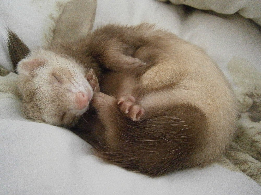 Sleeping ferret - Love The Critters