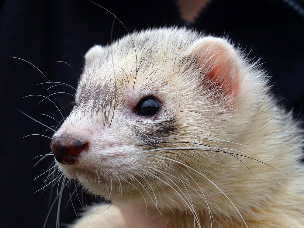 White ferret - Love The Critters