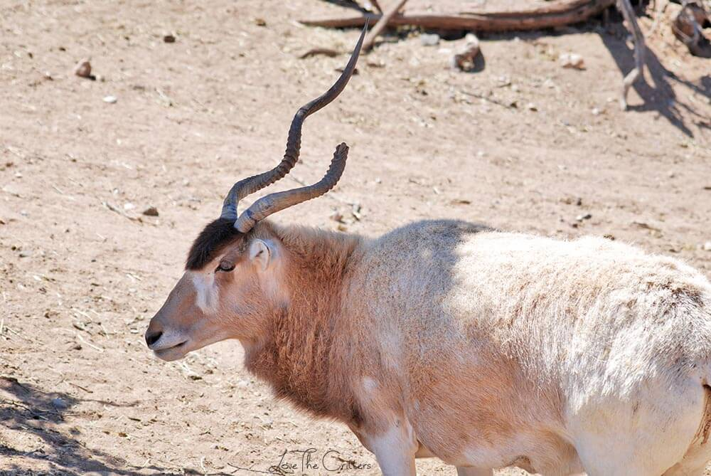 Addax - Out of Africa, Camp Verde, Arizona