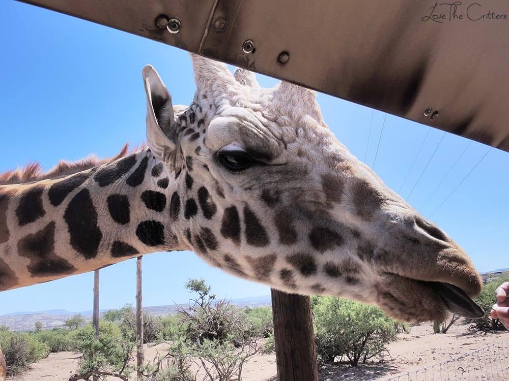 Reticulated Giraffe - Out of Africa, Camp Verde, Arizona
