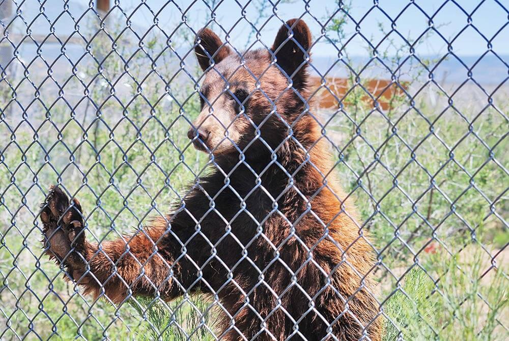 American Black Bear - Out of Africa, Camp Verde, Arizona