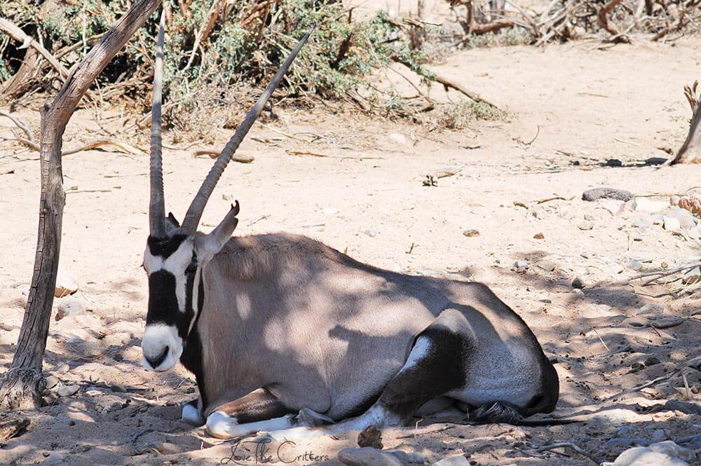 Gemsbok - Out of Africa, Camp Verde, Arizona