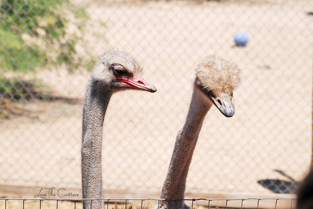 Ostrich - Out of Africa, Camp Verde, Arizona