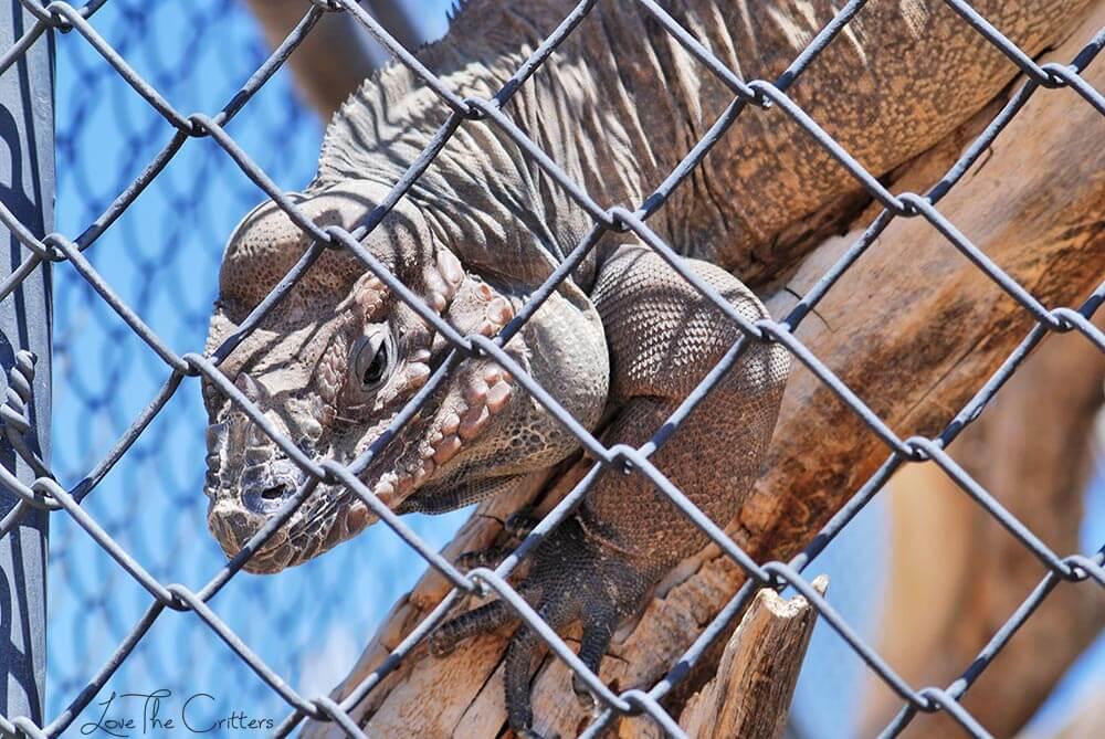 Rhinoceros Iguana - Out of Africa, Camp Verde, Arizona