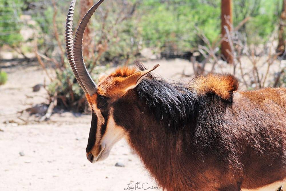 Sable antelope - Out of Africa, Camp Verde, Arizona