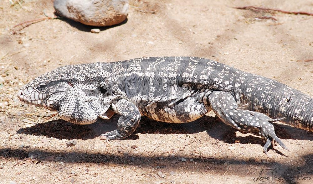 Black and White Tegu - Out of Africa, Camp Verde, Arizona