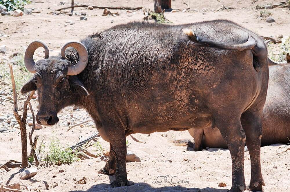 Water Buffalo - Out of Africa, Camp Verde, Arizona