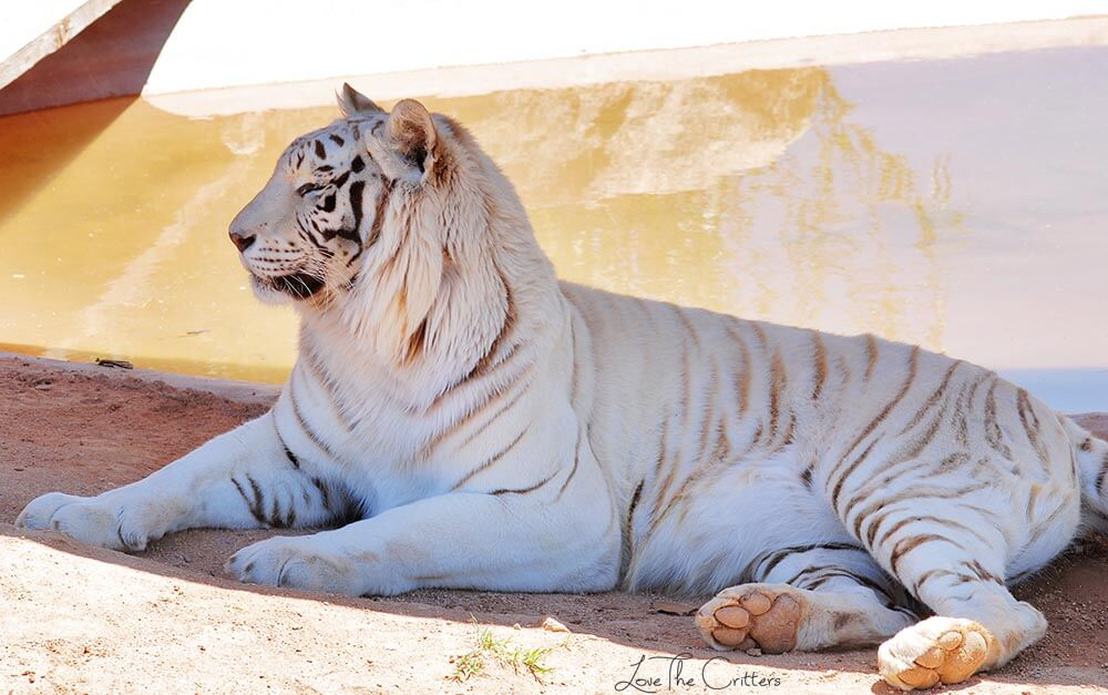 White Bengal Tiger - Out of Africa, Camp Verde, Arizona