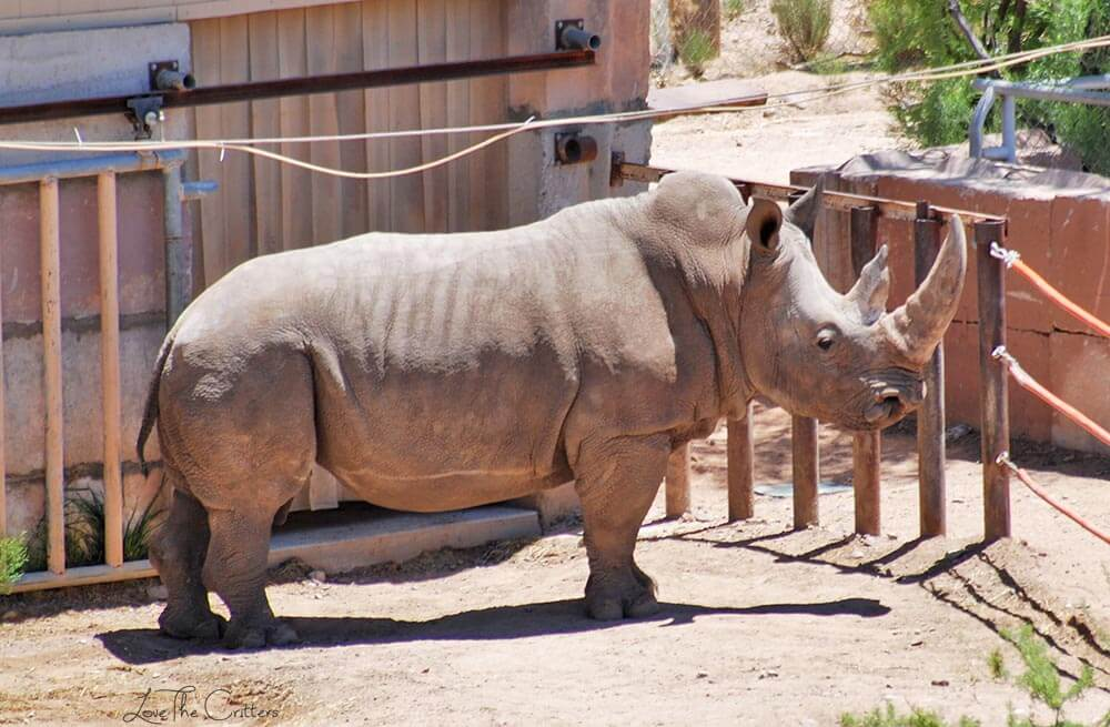 Southern White Rhino - Out of Africa, Camp Verde, Arizona