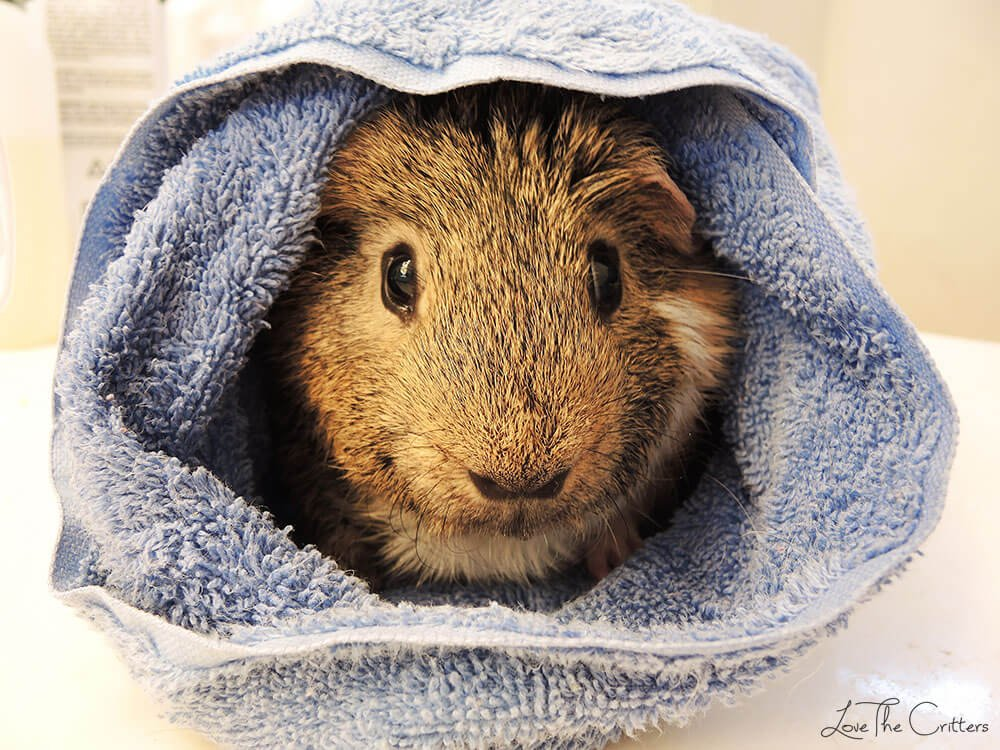 My guinea pig after his bath wrapped in a towel, cute and cozy