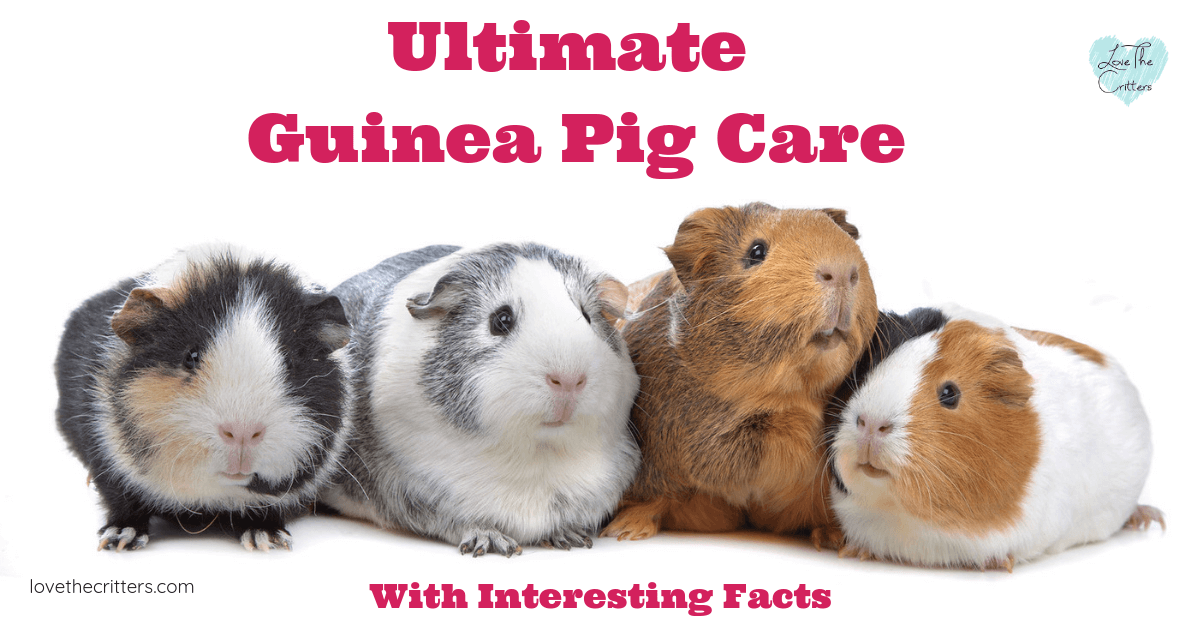 Ultimate Guinea Pig Care with Interesting Facts
