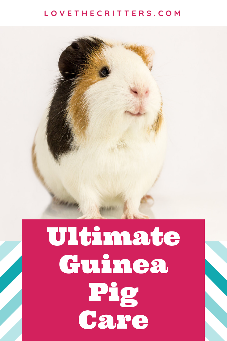 Learn all about guinea pigs and how to care for them the best! Find out what size cage you need, DIY cage or the best cage to buy, what food do guinea pigs eat, the best bedding (fleece, paper, or wood shavings), habitat setup with different hiding places and beds, brushing, bathing, nail trimming, teeth care, cage cleaning, and even a handy supply list to get you started!