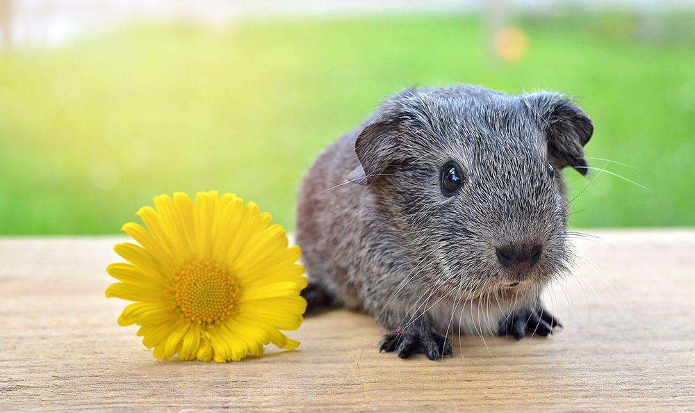 Cute baby guinea pig with a flower - Love The Critters Ultimate Guinea Pig Care