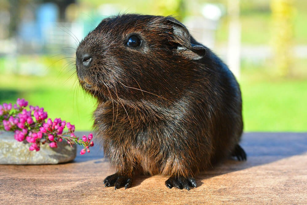Cute guinea pig with a flower - Love The Critters Ultimate Guinea Pig Care