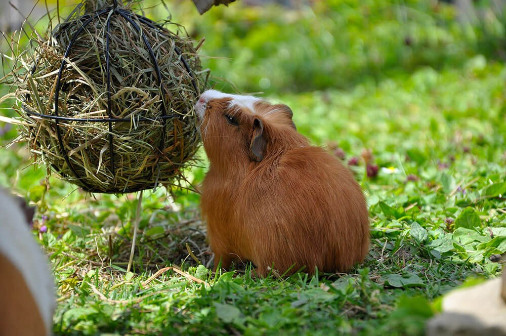 Guinea Pig Eating Hay