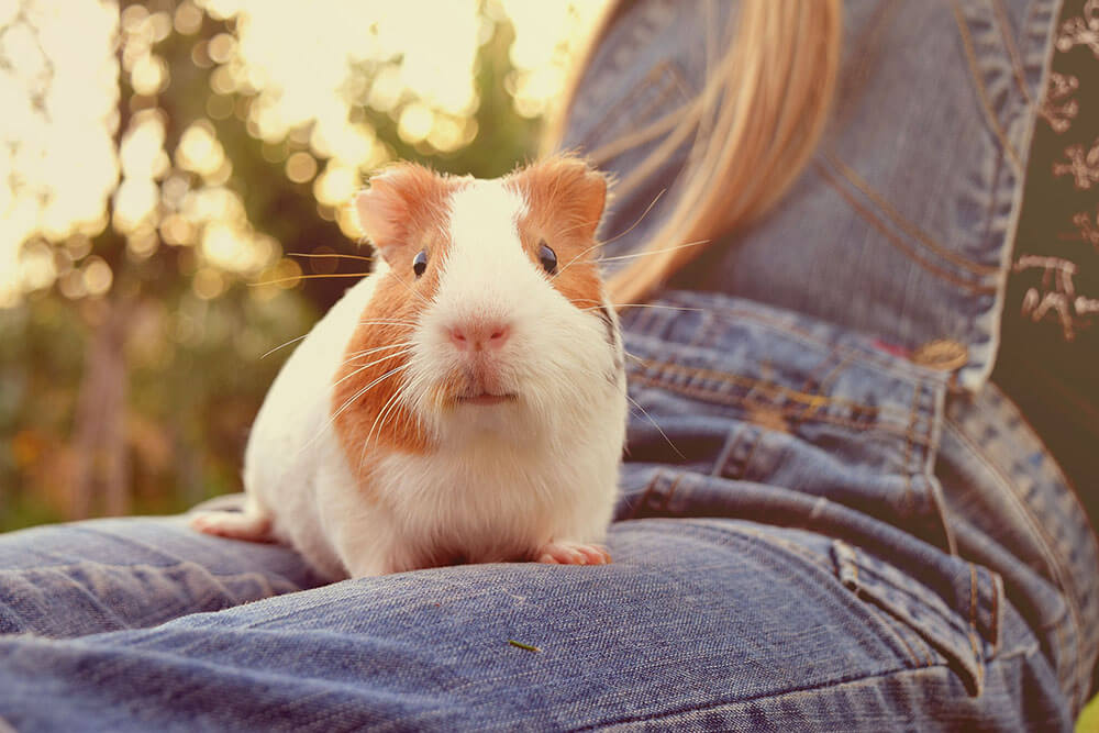 Cute guinea pig in a lap - Love The Critters Ultimate Guinea Pig Care