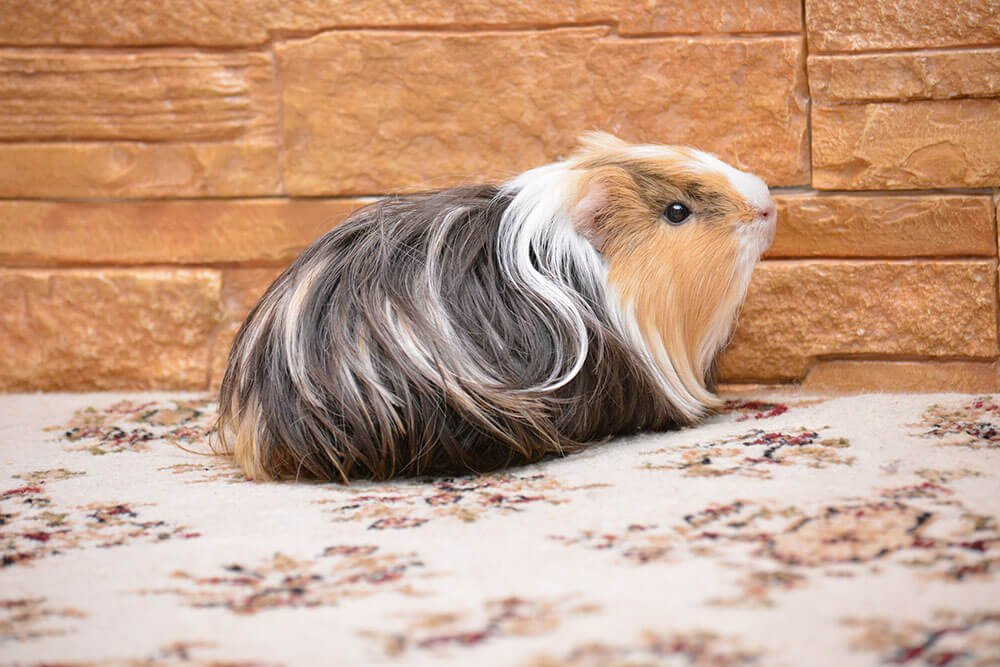 Guinea pig with long hair - Love The Critters Ultimate Guinea Pig Care