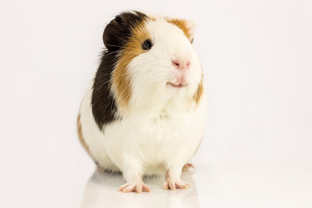 Cute smiling guinea pig - Love The Critters Ultimate Guinea Pig Care