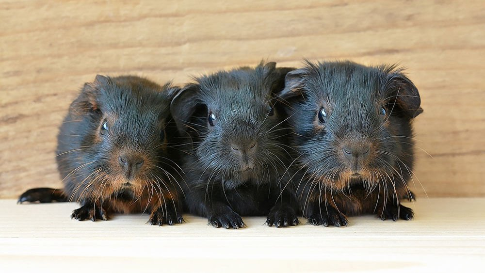 Three cute little guinea pigs - Love The Critters Ultimate Guinean Pig Care