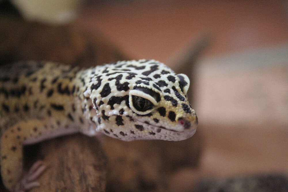 What are the best pets for apartments? Leopard geckos are awesome!