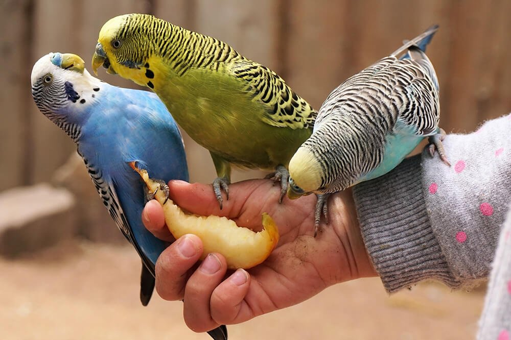 Three cute budgies