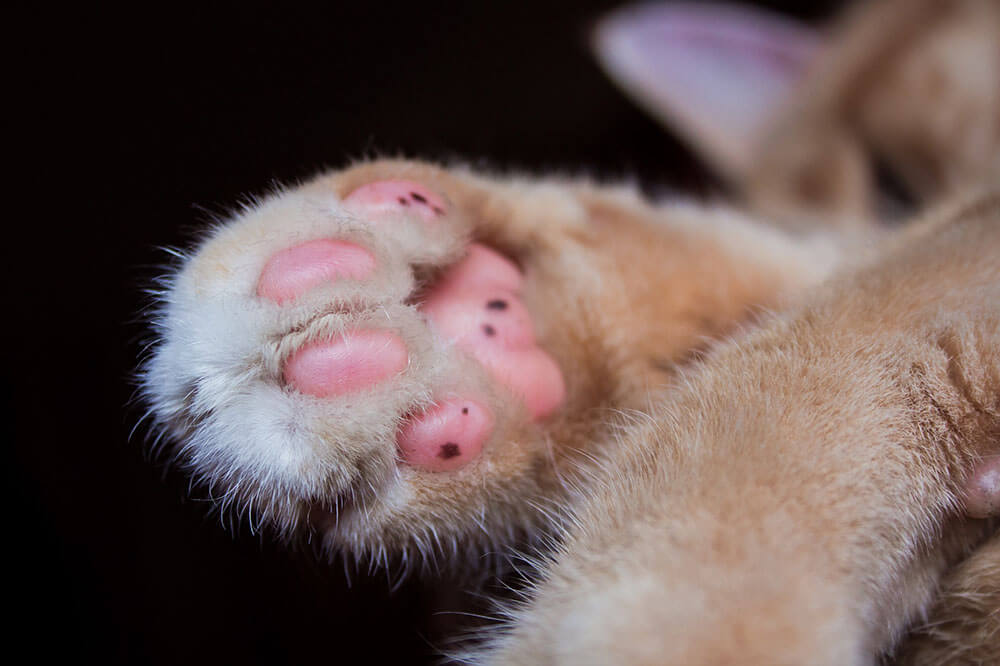 Cat paws - 13 interesting cat facts and tips you need to know, weird truths, health facts #cats #catfacts #interesting