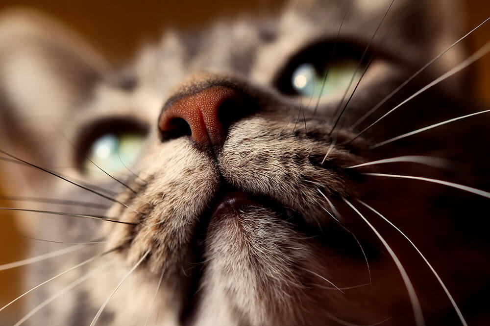 Cat whiskers and nose - 13 interesting cat facts and tips you need to know, weird truths, health facts #cats #catfacts #interesting